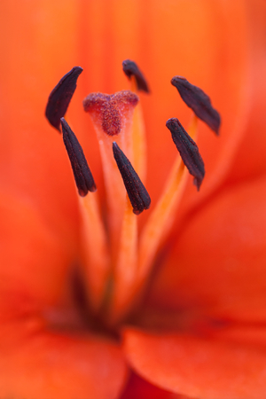 stamin: Close up of a beautiful orange lily stamens Stock Photo