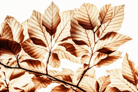 isolated brown colored beech branch photo