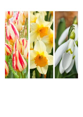 collage of flowering narcissus, snowdrop, tulip