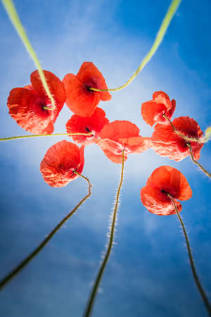 poppies on a background of blue sky Stock Photo