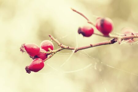 Rosehip and cobweb with dew drops photo