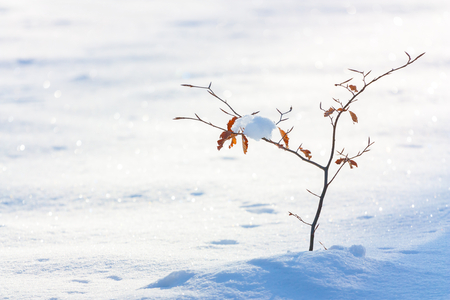 snowbound: small beech tree winter snow-bound