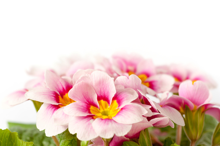 pink spring primroses on a white background photo