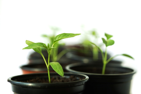 beautiful green seedlings in black pot on a white background