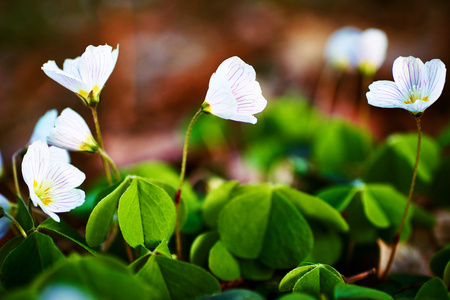 acetosella: beautiful forest white flowers oxalis acetosella Stock Photo