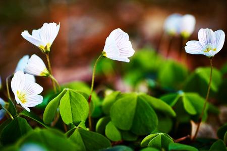 acetosella: beautiful forest white flowers oxalis acetosella Stock Photo