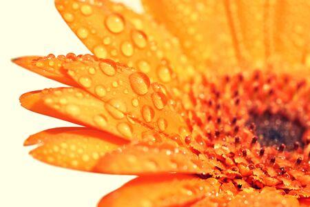 water drop on orange flowers