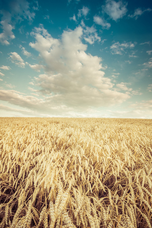 wheat field with the background of the sky Banco de Imagens