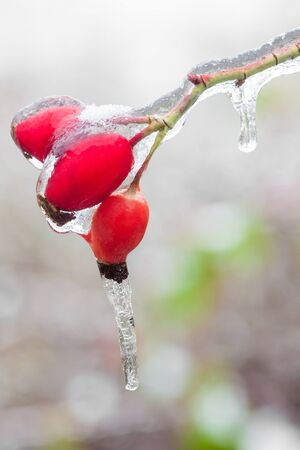 iciness: icicles on a frozen Rosehips Stock Photo