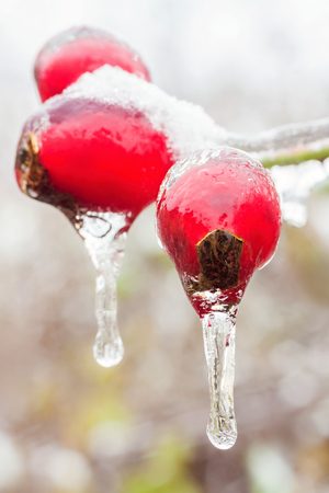 icicles: icicles on a frozen Rosehips Stock Photo