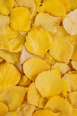 Autumn background of yellow birch leaves