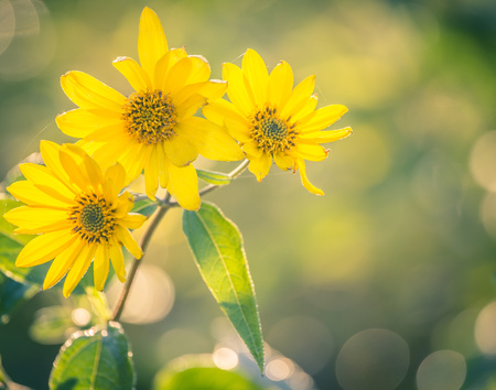 inulin: Beautiful yellow autumn flowers Helianthus tuberosus Stock Photo