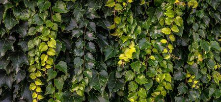 ivy wall: close up panorama of green ivy wall
