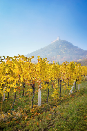 castle: Autumn vineyard with the background of the ruins of the castle-Palava Czech Republic