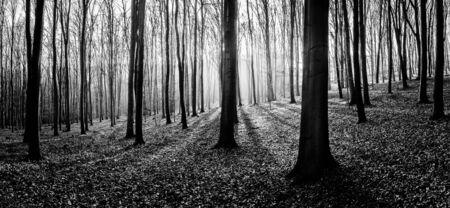 Schwarz-Weiß-Panorama Herbst Buche Wald