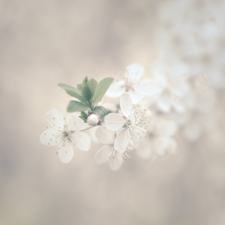 Close up of white flowers of fruit tree Stock Photo