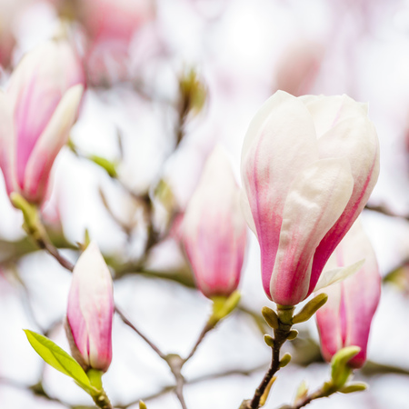 lose up of gorgeous pink magnolia flower buds