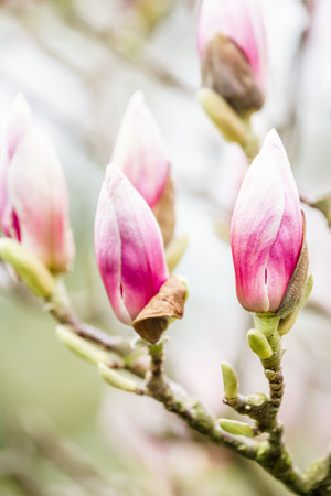 lose up: lose up of gorgeous pink magnolia flower buds