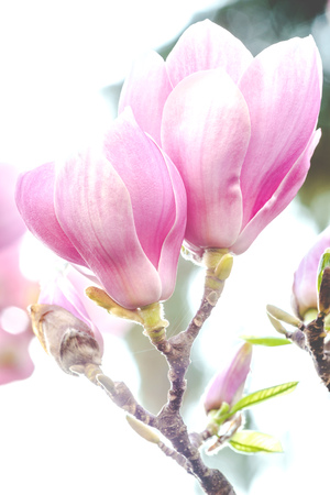 Close up of gorgeous spring flowers pink magnolia Stock Photo