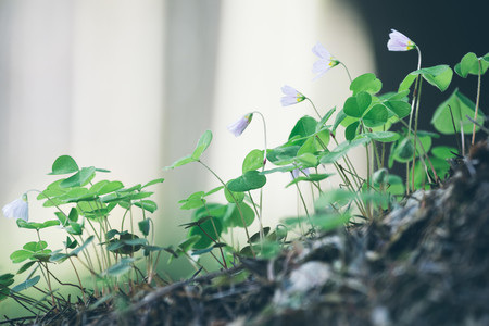 acetosella: Beauty forest of white flowers oxalis acetosella