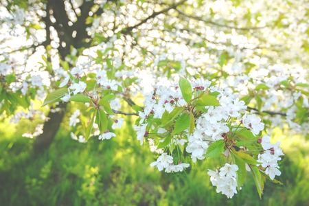branch of blossoming cherry tree