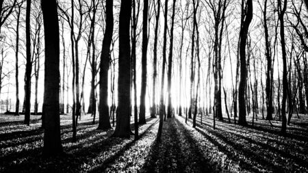 B & W Photography shadows of trees in spring forest