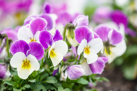 Close up of colorful spring flowers pansies