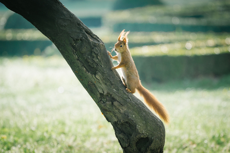 red squirrel in green grass