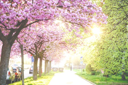 Spring Street from the trees in bloom pink ornamental trees Banco de Imagens
