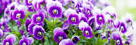 panorama of the beautiful violet flowers of pansies