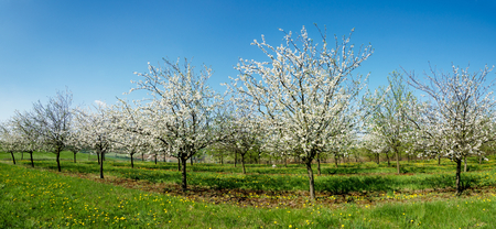 blooming orchard with a background of blue sky
