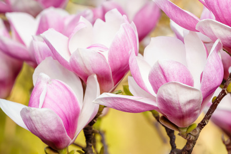 Close up of beautiful flowers of pink magnolia