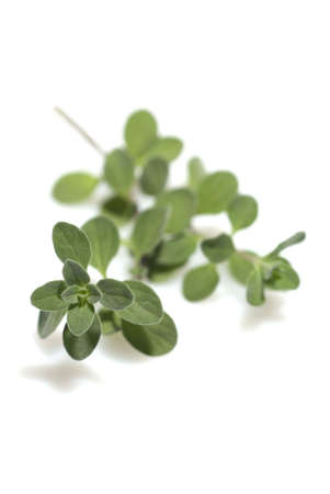 sweet marjoram isolated on a white background