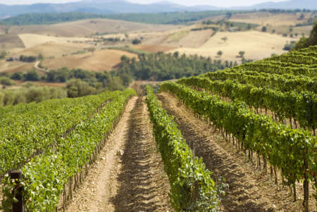 cultivable: italian vineyard with hills on the background