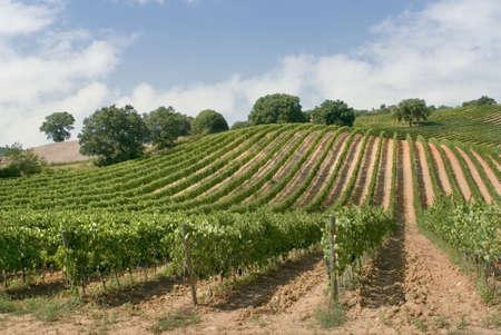 characteristic: characteristic scene of an italian vineyard panorama