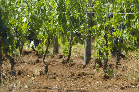 cultivable: grapes ripening in the sun