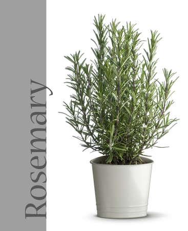 Rosemary planta en florero  Foto de archivo - 2094580