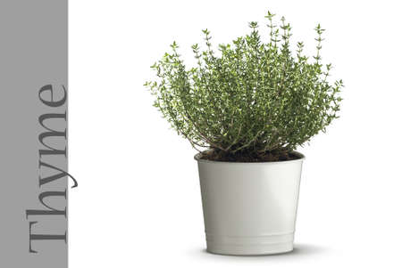 thyme plant in vase