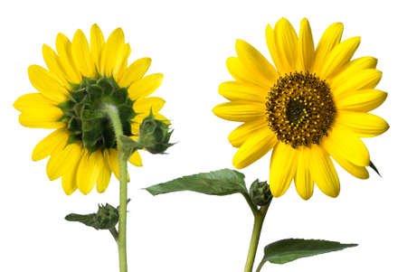 sunflowers front and back isolated on white photo