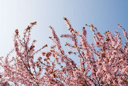earliest: sunlit branches of rosy flowers in the earliest springtime Stock Photo