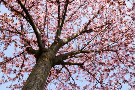 earliest: tree with rosy flowers from below in the earliest springtime