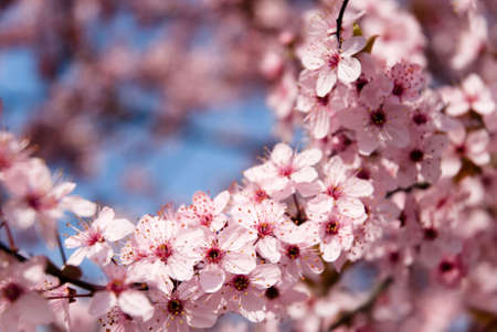close up of rosy flowers in the earliest springtime Stock Photo - 2715719