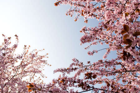 branches of rosy flowers in the earliest springtime photo