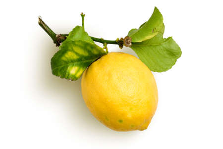 sourness: lemon with spray and leafs from organic farming Stock Photo