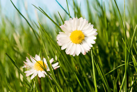 close up of two daisies in a sunny day Stock Photo - 2812976