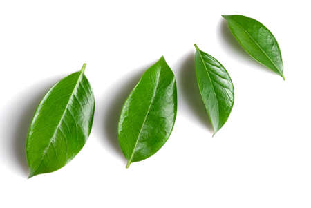 succession: green leaves isolated over white background