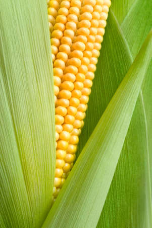 maize cob detail between green leaves Stock Photo