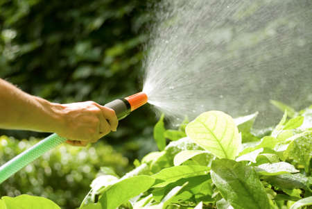 hosepipe: female hand watering the plants with a sprayng hosepipe