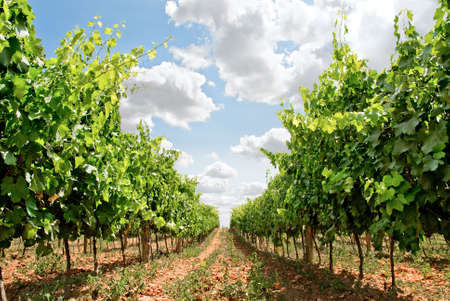 farmed: grapevine rows in tuscany land, italy