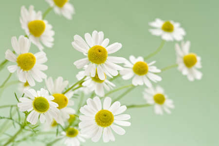palliative: fresh camomile flowers on a delicate green background